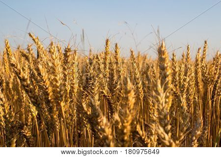 wheat under blue sky