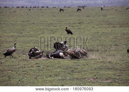 Vultures At Kill Site In Serengeti, Tanzania