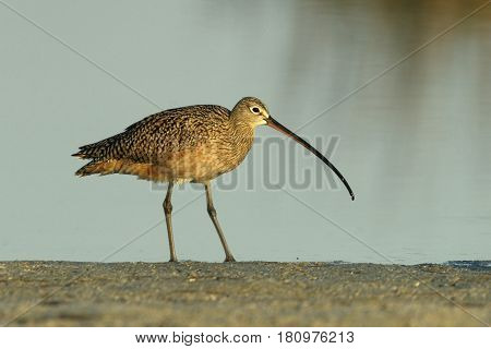 Long-billed Curlew, Numenius americanus in morning light at the edge of a pond in Florida