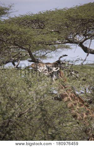Giraffe Feeding On Treetop Serengeti, Tanzania