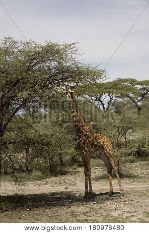 Giraffe Feeding In Tree Tops Serengeti, Tanzania