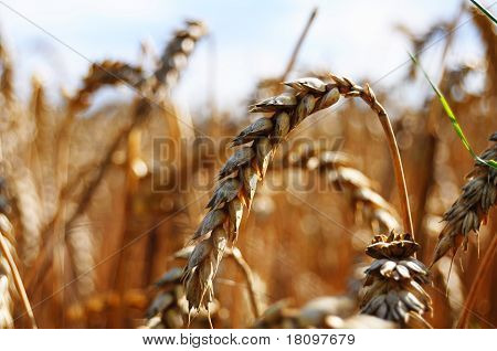 wheet grain on a summer field with sky showing food concept poster
