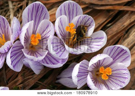 Lavender-striped Crocuses host a bee intent on pollinating