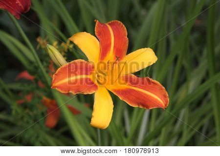 Bright Orange and Yellow Day Lily Blossom