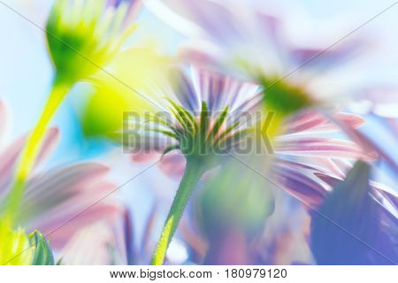 Spring flowers background, closeup photo of a tender purple daisy with shallow depth of field, beauty of spring nature, macro