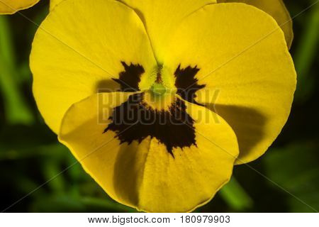 Horned Violet, Yellow Viola Macro Photography In Detail