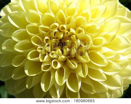 Pale yellow beautiful Dahlia flower blooming in the garden