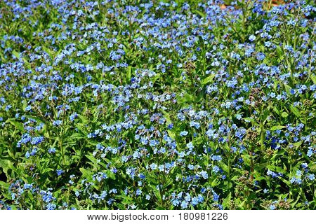 Forget Me Not flowers in the field ** note select focus with shallow depth of field