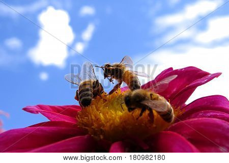 Playful bees on a red beautiful Dahlia flower blooming in the garden against a blue sky