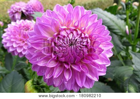 Lilac pink  beautiful Dahlia flower blooming in the garden