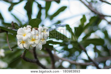 A set of plumeria frangipani flowers on the tree in Thailand. Close up with bokeh