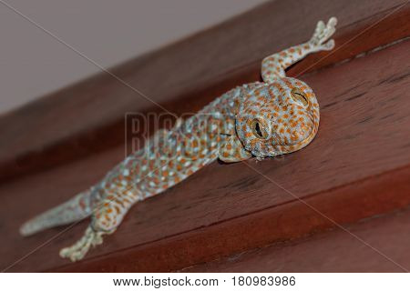 tokay gecko gekko tokee, blue and orange animal sitting on a wooden wall and smiling