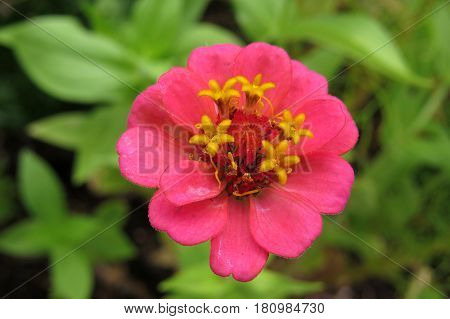 Beautiful coral pink Zinnia flower bloom in a garden bed