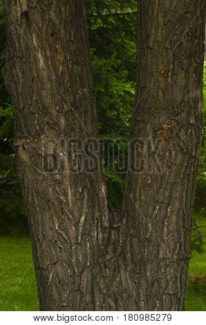 the doubled tree trunk covered with dark brown bark with white strips on a green background