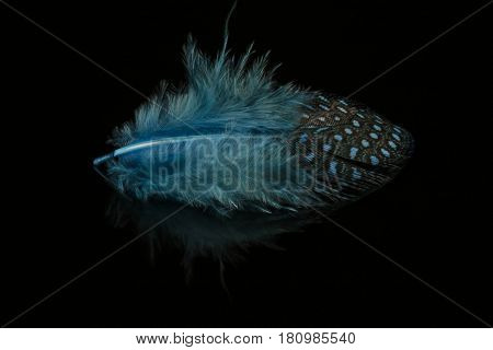 Closeup of a single blue feather on black