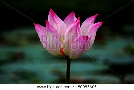 Pink lotus flowers are beautifully blooming outdoors.