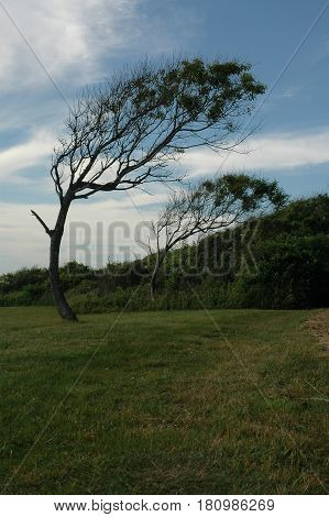 Trees bent permanently by the wind near Beavertail lighthouse Jamestown Rhode Island
