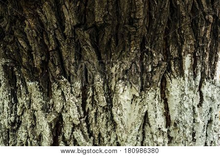 closeup bark of a tree of darkly brown and white color abstract background
