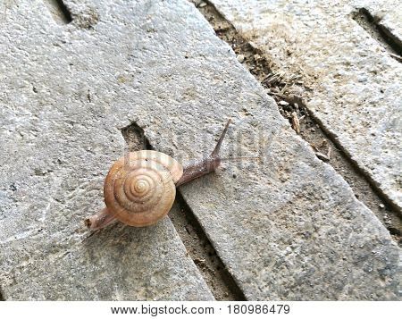 Small Brown Snail move on the concrete floor.