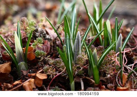 Spring. The flower bed revives. Among a sedum after leaves flower cones of crocuses have seemed.