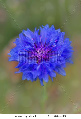 Bachelor button or Centaurea cyanus