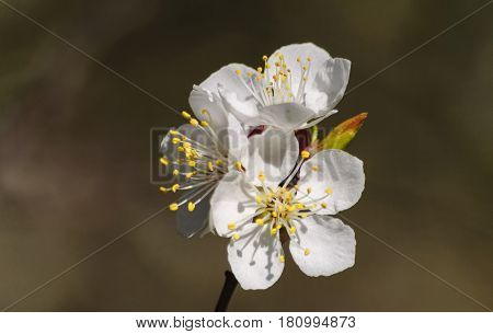 In the beginning of April the apricot trees blossomed with white delicate flowers; on thin branches they cover the leaves that have not yet blossomed.
