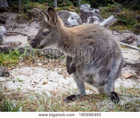 The red-necked wallaby or Bennett's wallaby (Macropus rufogriseus) sitting on a beach