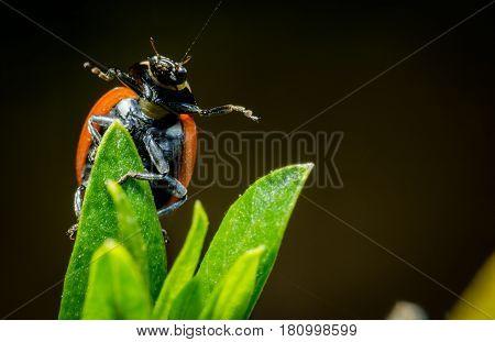 Beautiful ladybug open arms green twig macro photo