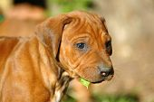 A beautiful little Rhodesian Ridgeback hound puppy dog head portrait with cute and sad expression in the face watching other dogs in the backyard poster