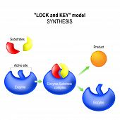 Enzyme. lock and key model. synthesis. metabolic processes. enzyme-substrate complex substrate product and active site. poster