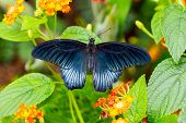 Rainforest Blue Morpho Butterfly , is one of over eighty described species of butterflies that reside in the rainforests. Morpho butterflies are neotropical butterflies. poster