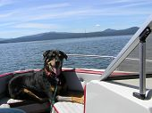 A happy rottweiler perched on the bow of a boat on a lake. poster