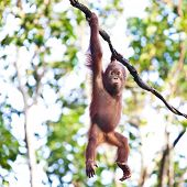 Young orangutan hanging on vine poster