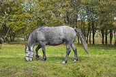 Grazing dappled mare on a fall pasture. poster