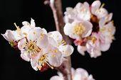 Gentle cherry blossom flowers closeup on dark background poster
