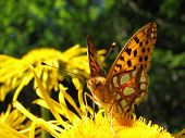close-up of a butterfly in a yellow flower poster