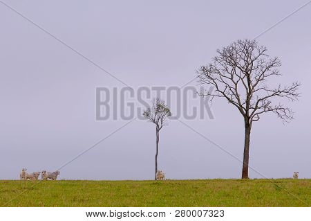 Indo-brazilian Cattle, Bos Taurus Indicus Or Bos Primigenius Indicus, Brazilian Zebu Beef Breed, Fre