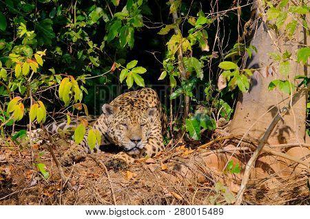 Jaguar, Panthera Onca, resting on a riverbank, Cuiaba River, Porto Jofre, Pantanal Matogrossense, Mato Grosso, Brazil South America poster