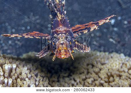 Lionfish Underwater In The Lembeh Strait In Sulawesi, Indonesia