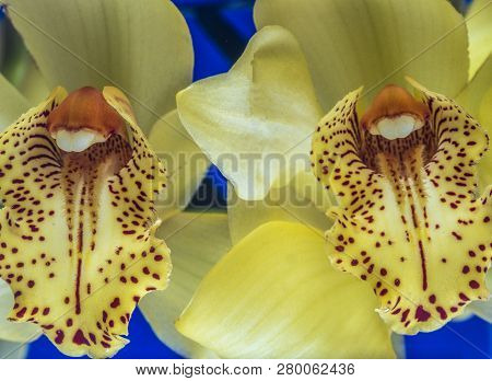 Phalaenopsis Known As Moth Orchid Plant Yellow In Color With Two