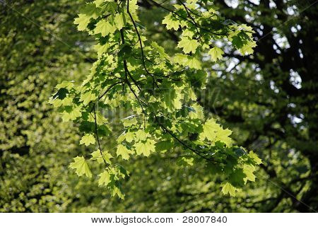 Back lit leaves on a tree in Bedgebury Pinetum in Kent, England.