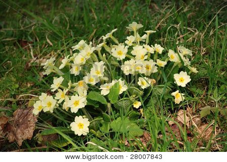 Yellow primroses growing in woodland at Bedgebury Pinetum in Kent, England.