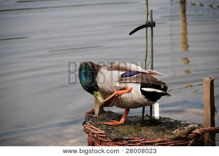 A male Mallard duck standing on a small island in a pond, grooming itself, at Bedgebury pinetum in Kent, England.