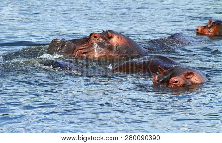 Hippos Surface To Breathe Near The Shoreline Of The Nile River In Uganda.