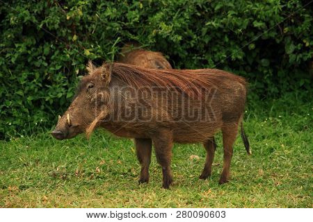 A Portrait Of A Warthog Against A Green Jungle Foliage Background.