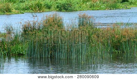 Reeds In The Middle Of The Nile River