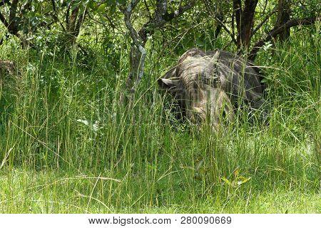 A Rhinoceros Sleeps In The Forest Of Ziwa Rhino Sanctuary In Uganda.