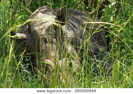 A Large Rhinoceros Sleeps Laying Down Camouflaged In The Long Green Grass.