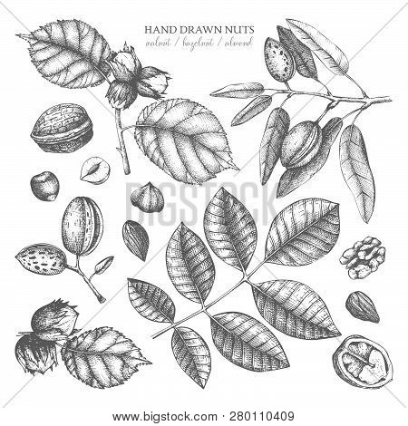 Vector Collection Of Hand Drawn Nuts Sketches. Vintage Illustrations Of Walnut, Hazelnut And Almond.
