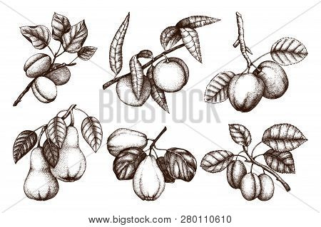 Vintage Collection Of Ripe Fruits And Berries  - Apple, Pear, Plum, Peach, Apricot Trees Sketches. H